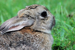 Snowshoe hare 2. Snowshoe hare relaxing in the sun Royalty Free Stock Photos