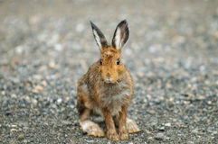 Snowshoe Hare. Wild Snowshoe Hare on a roadway in the mountains Royalty Free Stock Images