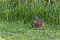 Snowshoe Hare. A Snowshoe Hare feeding on grass Stock Photos