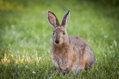 Snowshoe Hare. A Snowshoe Hare feeding on grass Royalty Free Stock Photo
