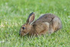 Snowshoe Hare Stock Photography