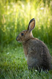 Snowshoe Hare. A Snowshoe Hare feeding on grass Royalty Free Stock Photography