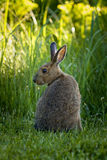 Snowshoe Hare Royalty Free Stock Image