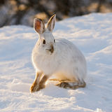 Snowshoe Hare. Snowshoe or varying hare, in eastern Ontario winter Royalty Free Stock Images
