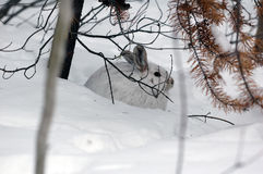 Snowshoe Hare. A white Snowshoe Hare in Winter Stock Images