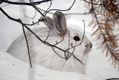 Snowshoe Hare. A white Snowshoe Hare in Winter Royalty Free Stock Photography