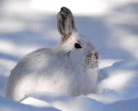 Snowshoe Hare. A white Snowshoe Hare in Winter Stock Photos