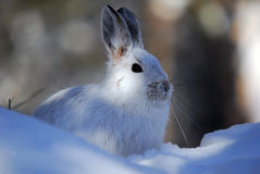 Snowshoe Hare. Picture of a wild Snowshoe hare in Winter Stock Photos