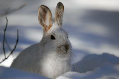 Snowshoe Hare. Picture of a wild Snowshoe hare in Winter Stock Image