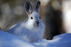 Snowshoe Hare. Picture of a wild Snowshoe hare in Winter Royalty Free Stock Photo