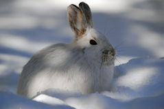 Snowshoe Hare. Picture of a wild Snowshoe hare in Winter Royalty Free Stock Image