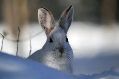 Snowshoe Hare. Picture of a wild Snowshoe hare in Winter Royalty Free Stock Images