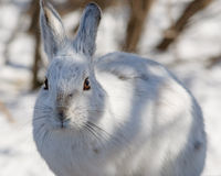Snowshoe hare Close Up Stock Photography