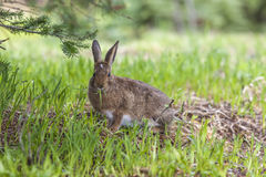 Snowshoe hare eats grass. Royalty Free Stock Photography
