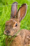 Snowshoe Hare feeding on grass. Portrait of a cute Snowshoe Hare (Lepus Americanus) munching on grass Royalty Free Stock Images