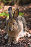Snowshoe Hare on the forest floor. A hare sitting on the forest floor looking at the camera Stock Photography