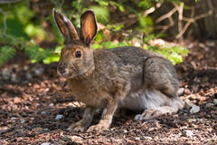 Snowshoe Hare on the forest floor. A hare sitting on the forest floor looking at the camera Royalty Free Stock Photos