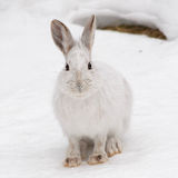 Snowshoe Hare frontal view. Snowshoe hare in eastern ontario winter Stock Photos