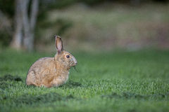 Snowshoe hare in the grass Stock Photography