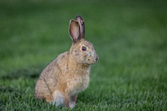 Snowshoe hare in the grass. Showhoe hare on a grassy lawn Royalty Free Stock Image