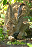 Snowshoe Hare Stock Photo