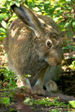 Snowshoe Hare Royalty Free Stock Photo
