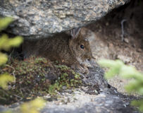 Snowshoe Hare Hiding. A summer phase Snowshoe Hare peering out from under a rock Royalty Free Stock Photos