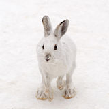 Snowshoe hare hopping Royalty Free Stock Photos
