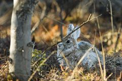 Snowshoe hare in its lay Royalty Free Stock Photography