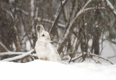 A Snowshoe hare Lepus americanus closeup in winter Stock Image