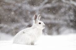 A Snowshoe hare Lepus americanus closeup in winter Royalty Free Stock Photography