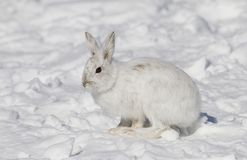 A Snowshoe hare Lepus americanus closeup in winter. Snowshoe hare Lepus americanus closeup in winter Royalty Free Stock Photos