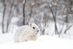 A Snowshoe hare Lepus americanus closeup in winter. Snowshoe hare Lepus americanus closeup in the winter snowfall Royalty Free Stock Image