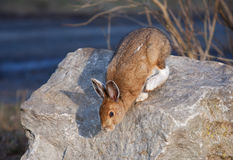 Snowshoe hare or Varying hare (Lepus americanus) in spring. Snowshoe hare or Varying hare (Lepus americanus) jumping off a rock in spring royalty free stock image