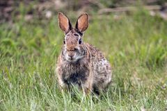 Snowshoe Hare, Lepus americanus Royalty Free Stock Photos