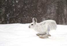 A Snowshoe hare Lepus americanus running in the falling snow Stock Photo