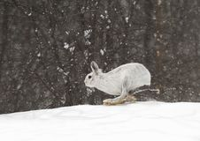 A Snowshoe hare Lepus americanus running in the falling snow Royalty Free Stock Images