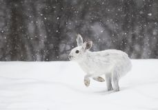 Snowshoe hare or Varying hare (Lepus americanus) running in the falling snow royalty free stock image