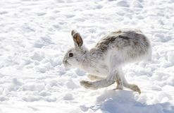 Snowshoe hare Lepus americanus running in the snow Stock Photos