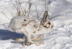 Snowshoe hare Lepus americanus running in the snow Stock Images
