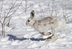 Snowshoe hare or Varying hare (Lepus americanus) running in the snow in Canada royalty free stock photos