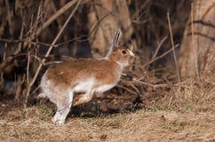 Snowshoe hare in spring. Snowshoe hare Lepus americanus running in spring Stock Photo