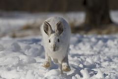 A Snowshoe hare Lepus americanus running in the winter snow in Canada Royalty Free Stock Photo