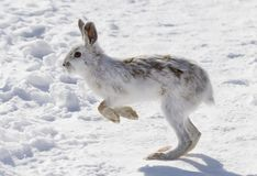 Snowshoe hare or Varying hare (Lepus americanus) running in the winter snow in Canada royalty free stock photos