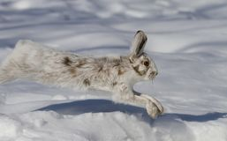 A Snowshoe hare Lepus americanus running in the winter snow in Canada. Snowshoe hare Lepus americanus running in the winter snow in Canada Royalty Free Stock Photo