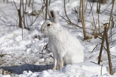 Snowshoe hare or Varying hare (Lepus americanus) sitting in the winter snow in Canada royalty free stock photography