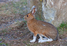 Snowshoe hare or Varying hare (Lepus americanus) in spring stock photos