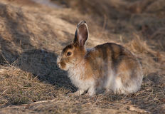 Snowshoe hare in spring Royalty Free Stock Images