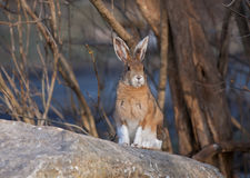 Snowshoe hare or Varying hare (Lepus americanus) in spring royalty free stock photo