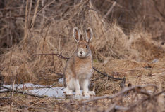 Snowshoe hare or Varying hare (Lepus americanus) in Spring royalty free stock image